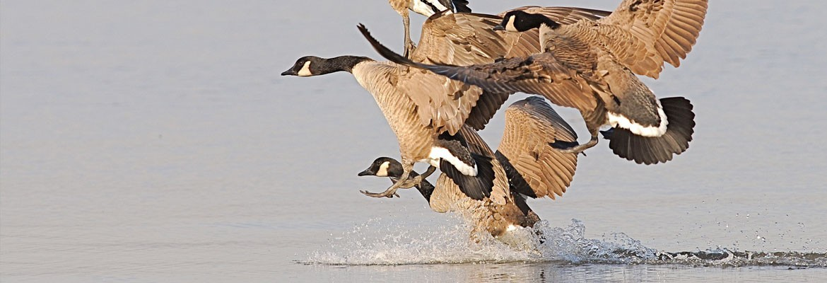 GOOSE AND DUCK SHOOTING